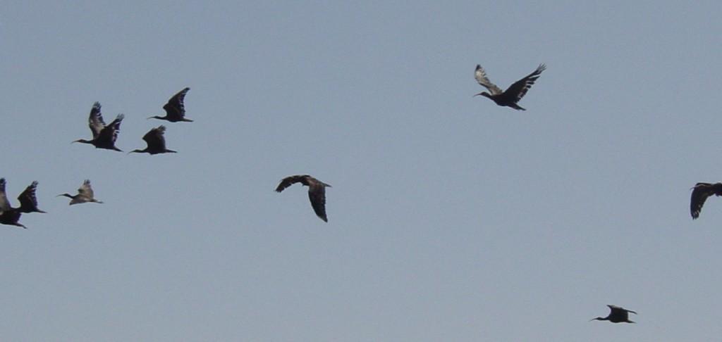 Banda de Ibis Eremita en vuelo. Proyecto Eremita