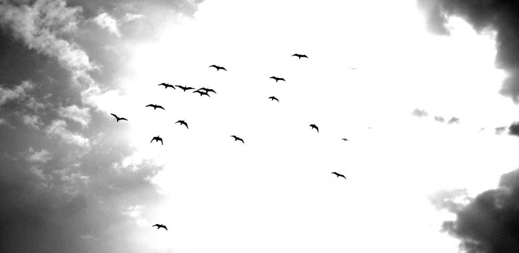 Ibis Eremita en vuelo