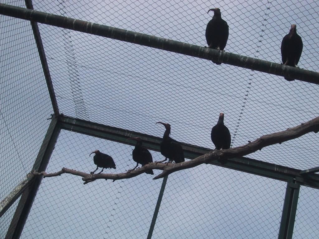 Algunas aves antes de su liberación. Proyecto Eremita