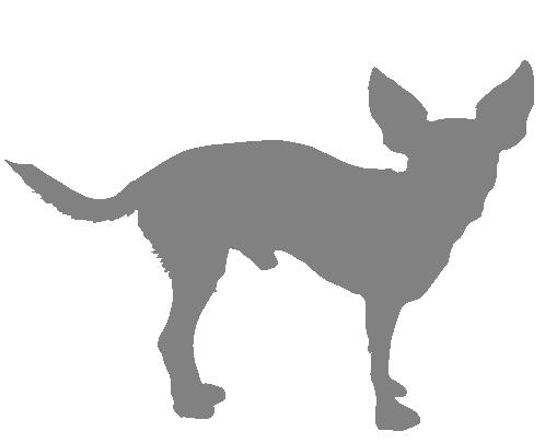 Piraito, el chihuahua
